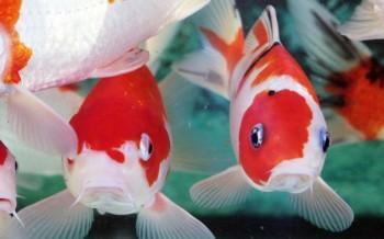 Pesci da laghetto for Vendita pesci da laghetto online