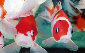 pesci-laghetto-slide-002