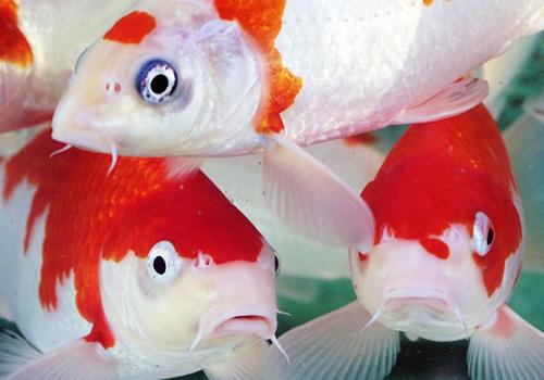 Pesci for Laghetto pesci