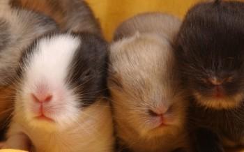 roditori-conigli-nani-slide-002