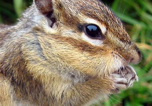 topolini-germilli-scoiattoli