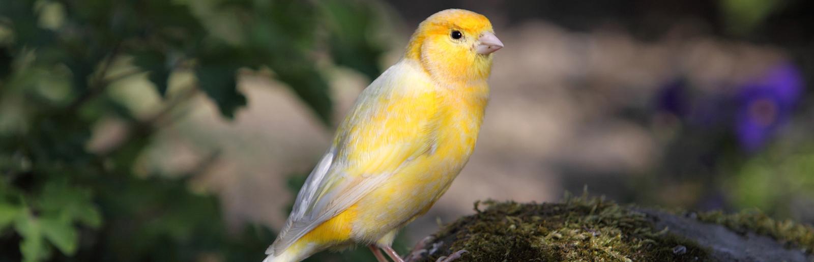 uccelli-canarini-slide-001