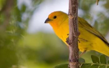 uccelli-canarini-slide-002