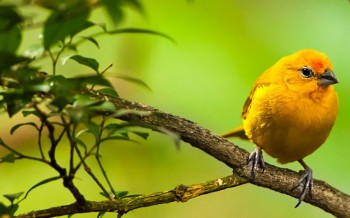 uccelli-canarini-slide-003