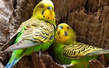 uccelli-pappagallini-slide-002