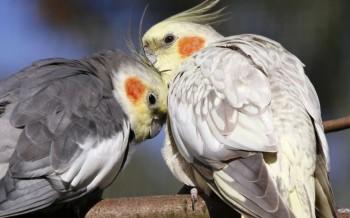 uccelli-parrocchetti-slide-001