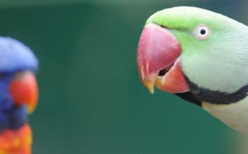 uccelli-parrocchetti-slide-002