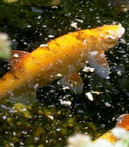 pesci da laghetto