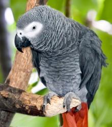 Pappagallo-cenerino-africano