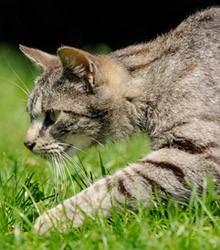 gatto-domestico