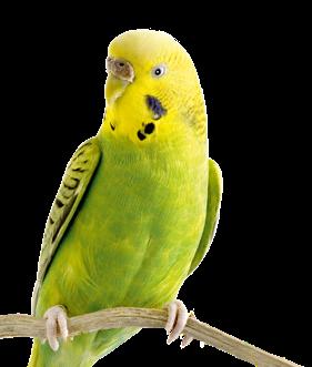 pappagallino-ondulato